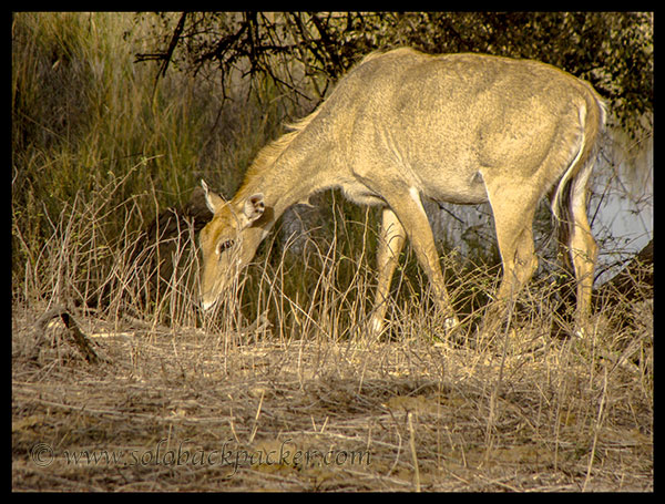 A Blue Bull (Nilgai) posing for us
