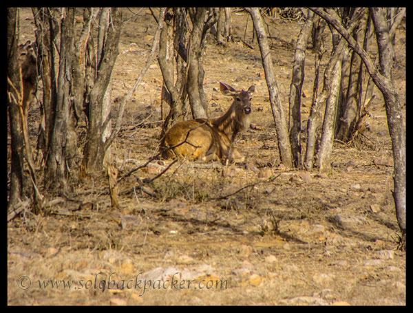 A Sambhar@ Ranthambhore National Park