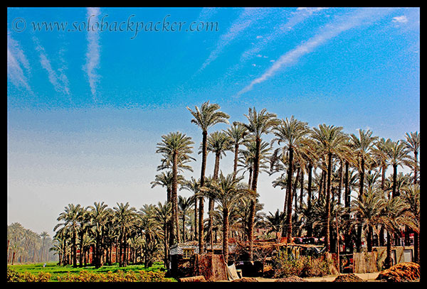 Date Trees on the road to Dahshur
