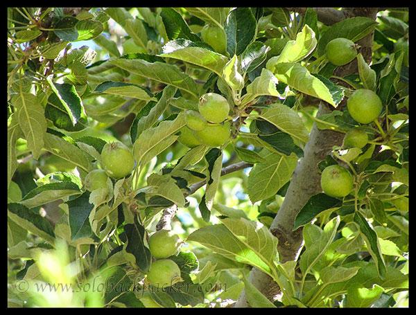 Apple Tree at Roghi Village