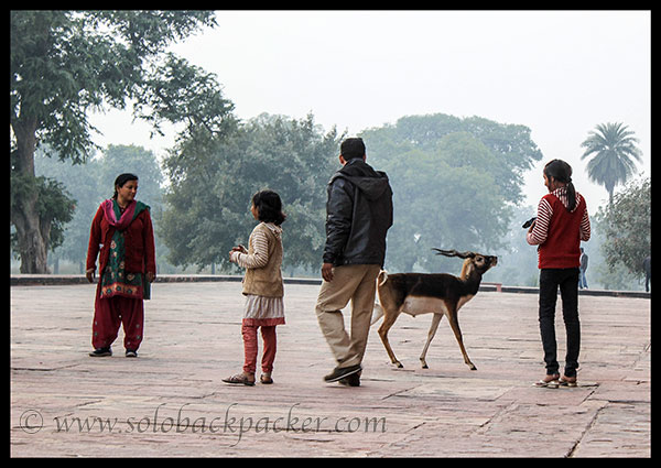 A deer wandering near the tourists @ The Tomb of Akbar The Great, Sikandara, Agra