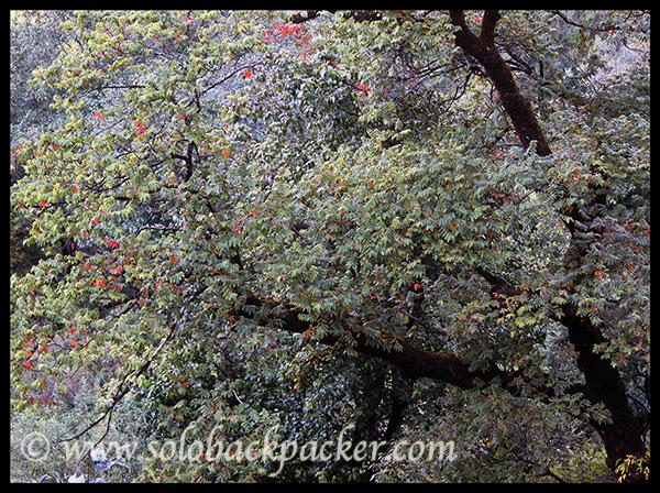 Burans Tree