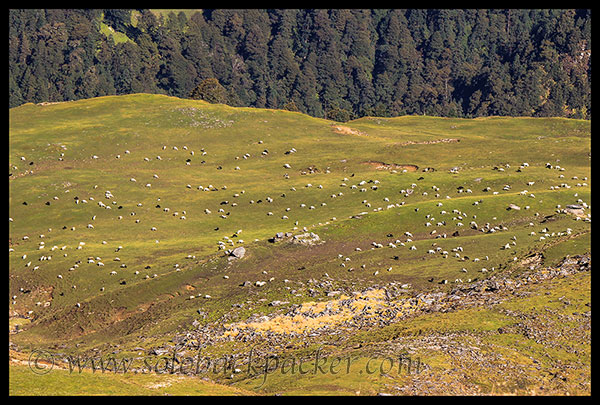Cattle Grazing in the Bedini Bugyal