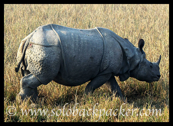 A Rhino with injured back