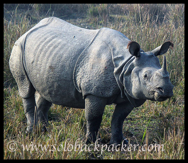 The Great Indian One-Horn Rhinoceros