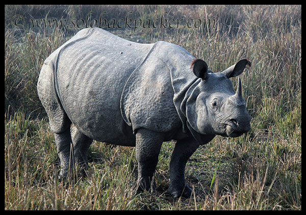 The Great Indian One-Horn Rhinoceros @ Pabitora Wildlife Sanctuary