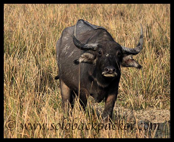 Wild Buffalo@Pabitora