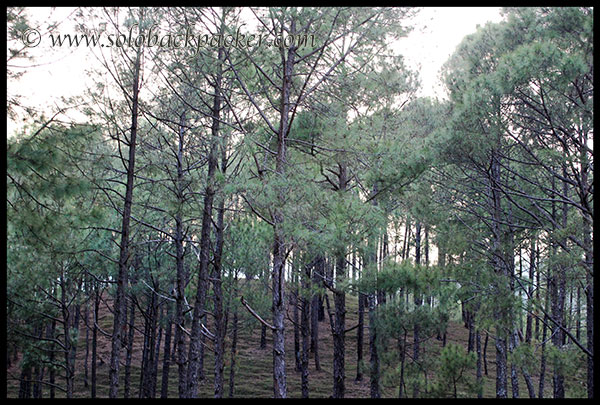 Pine Forest Along The Road to Gwaldam