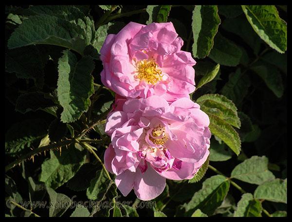 Chaitri Roses