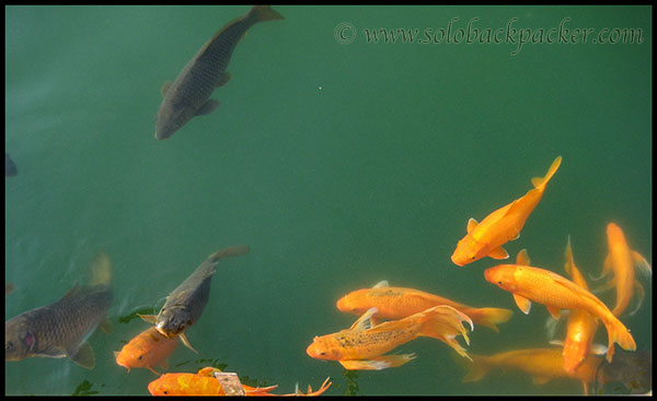 Coloured Fishes in Amrit Sarovar