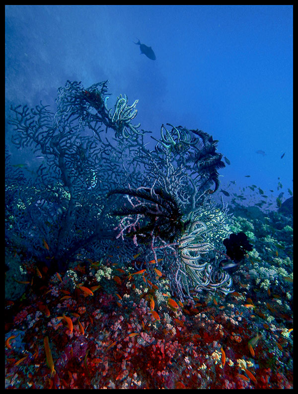 Colorful Underwater World at Dixon's Pinnacle, Havelock Island