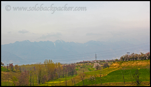 Saffron Fields in Pampore
