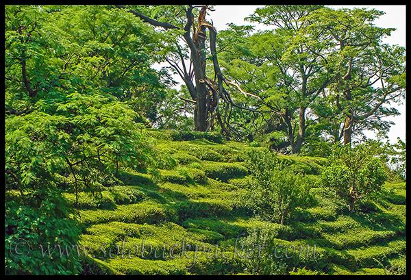 Tea Gardens Near Dharamshala