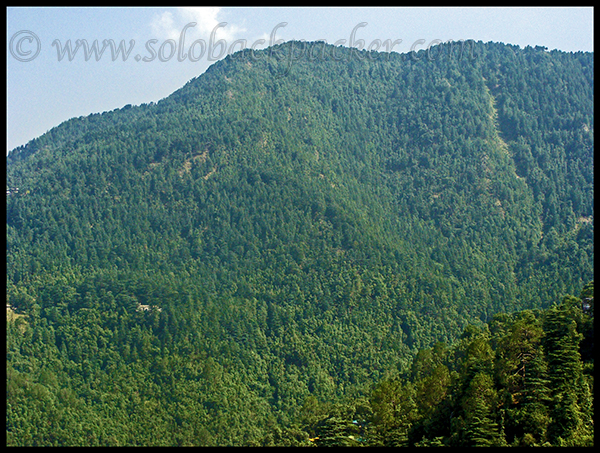 Lush Green Forest Cover of Pine and Cedar Trees