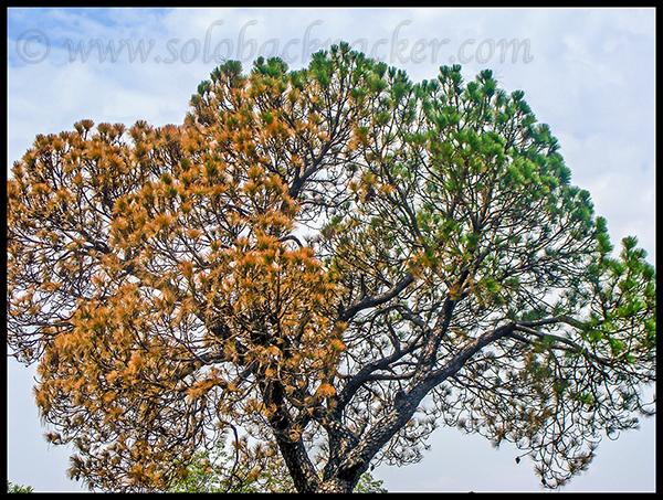 A Pine Tree: Half Alive, Half Dead