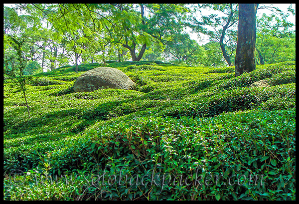 Tea Gardens in Dharamshala